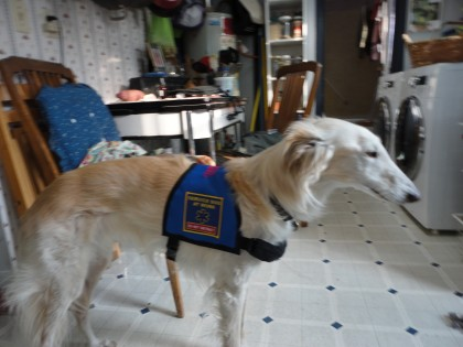 My Silken Windhound Romeo in his service dog vest