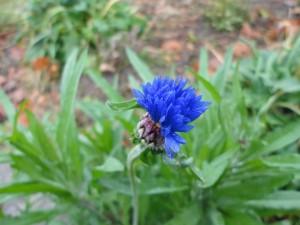 The same blue cornflower opening on November 2