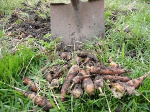 Carrots dug up