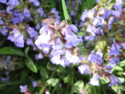 My neighbor's flowering sage