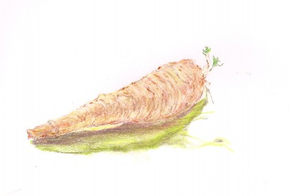 Parsnip: Ink and Chalk pastel by Maria Theresa Maggi