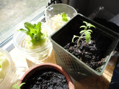 baby tomato and sprouted romaine