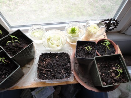 baby tomatoes and resprouting greens