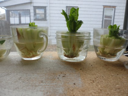 romaine sprouting in water