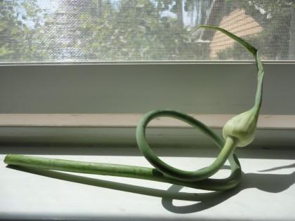 fresh garlic scape