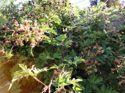 blackberry bramble with spider web