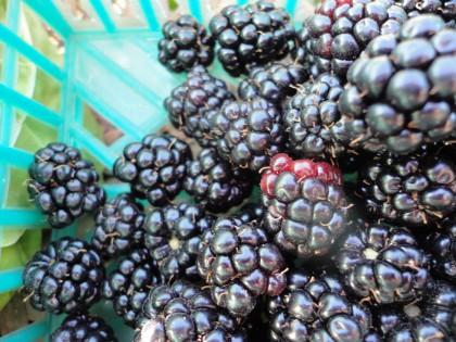 blackberries up close