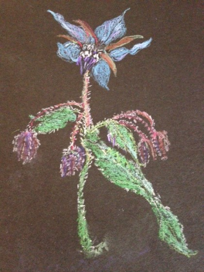 Borage Flower and Buds by  MTM